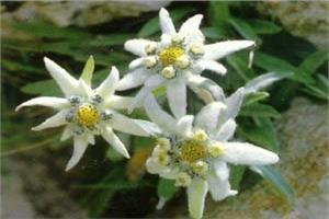 The Edelweiss AFH
